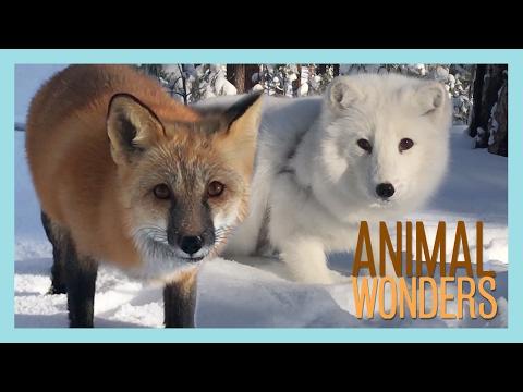 Arctic Fox, Red Fox