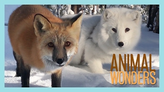Arctic Fox, Red Fox