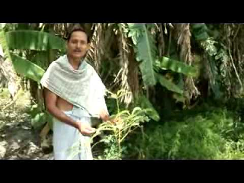 THARU  SCHEDULE TRIBE OF WEST CHAMPARAN HAVING KNOWLEDGE OF MORE THAN 400 HERBAL PLANTS