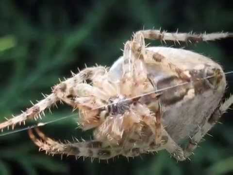 крестовик паук фото