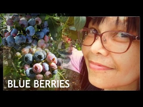 Louie Masayang Namitas ng Blue Berries 2016