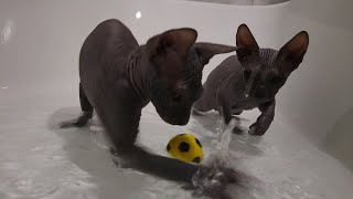 Two sphynx kittens brothers are joyfully playing with the toys in the bathtub / DonSphynx /