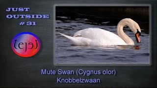 Mute Swan (Cygnus olor) Knobbelzwaan - JUST OUTSIDE #31
