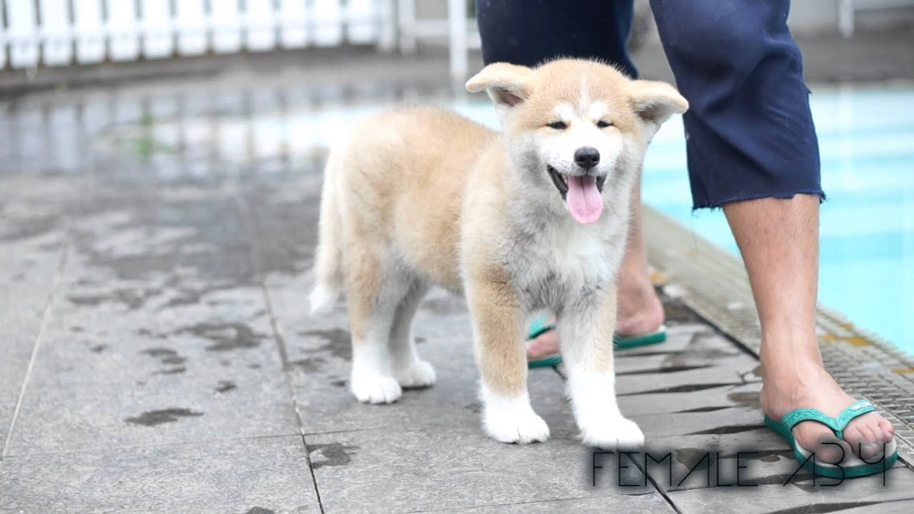 Japanese Akita Puppies For Sale Youtube