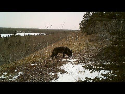 Wild Yukon black Timber Wolf caught on a Bushnell trail camera