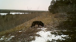 Wild Yukon black Timber Wolf caught on a Bushnell trail camera