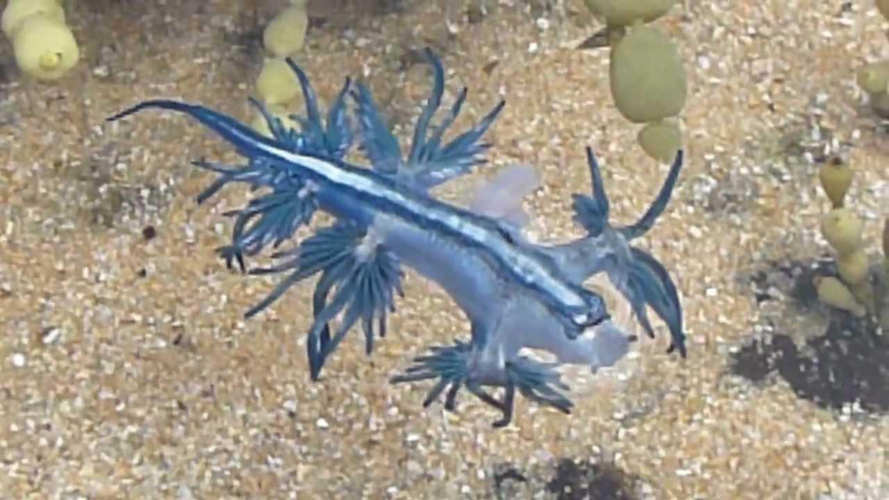 Dragon Bleu Animal dancing glaucus atlanticus (blue dragon) nudibranch - australia