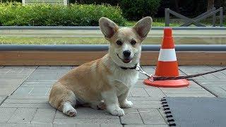 ДТ66. Хитрый щенок корги  индивидуальный подход.