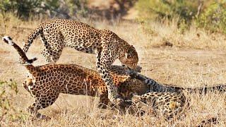 Males Fight Over Leopardess, She Breaks It Up!