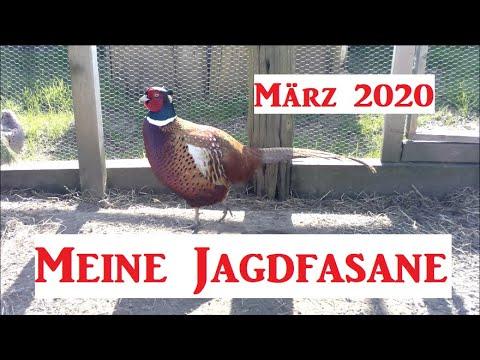 Meine Jagdfasane Update 2020 März