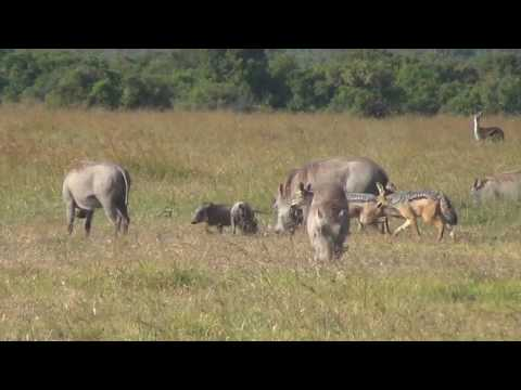 Black-backed jackals hunting warthog piglets
