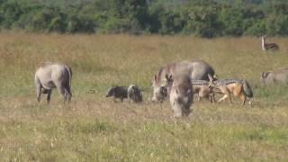 Black-backed jackals hunting warthog piglets