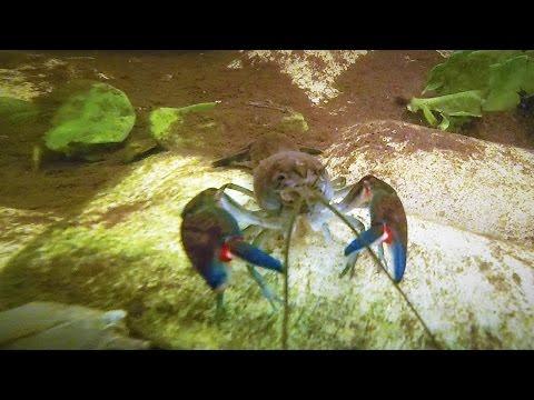 Common Yabby (Crayfish, Crawfish) Yabby Farming, Yabbying Australia | Short Documentary