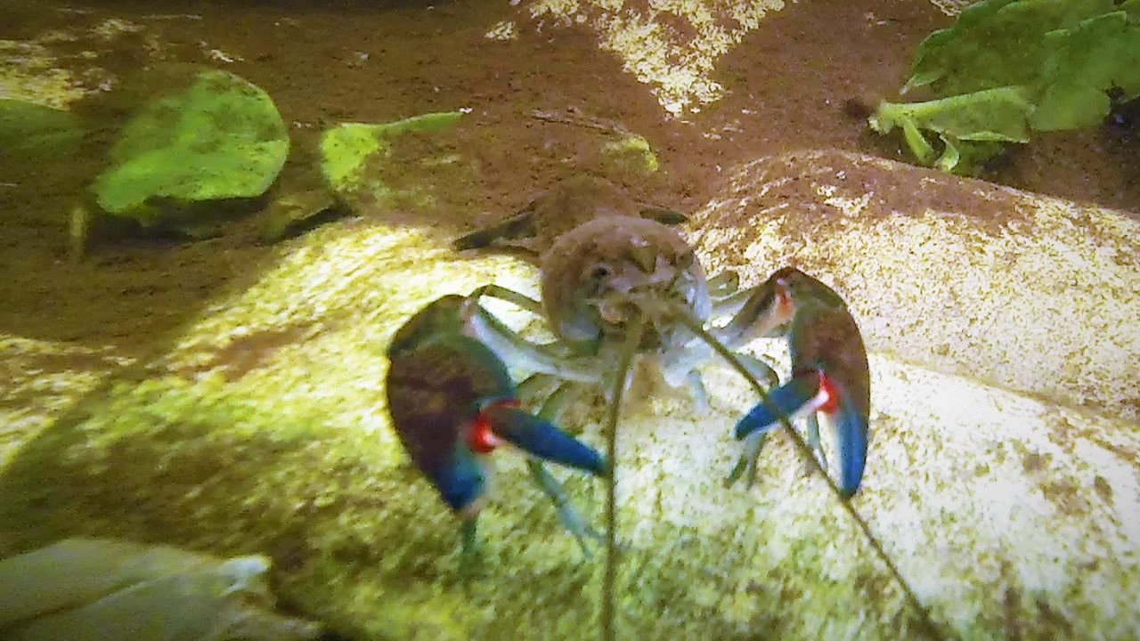 Tasmanian giant freshwater crayfish - Wikipedia |Common Crayfish