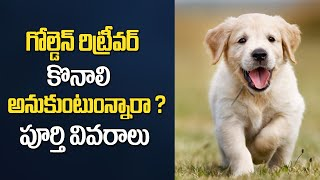 Golden Retriever Dog Breed Profile and Detailed Information | Telugu News
