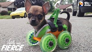 Tiniest_Puppy_Loves_To_Race_Around_On_His_Wheels_|_The_Dodo_Little_But_Fierce