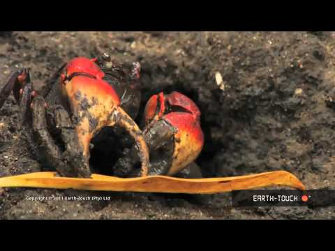 Mangrove crabs pull food into underground burrows