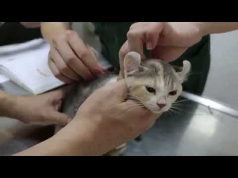 An American Curl cat is vaccinated Pt 1