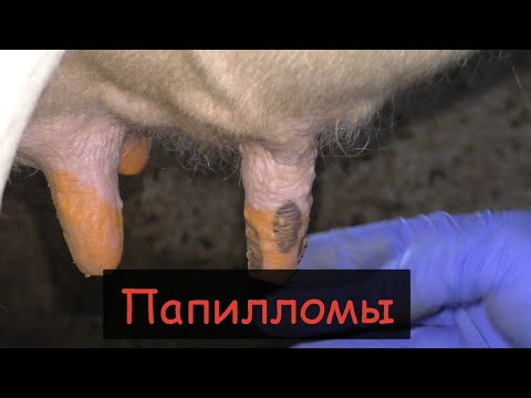Как вылечить оспу у коровы на вымени в домашних условиях