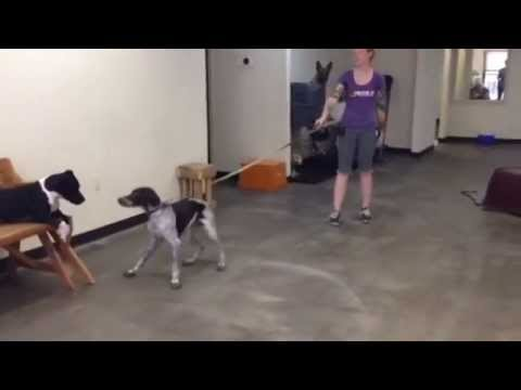 Otto the Crazy German Shorthair Pointer Learns How to Politely Walk On a Leash!