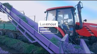 Lavender Essential Oil | doTERRA Behind the Bottle: Episode 18