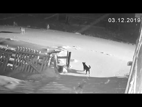 Шесть волков загрызли двух собак 📹 TV29.RU (Нёнокса)