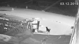 Шесть волков загрызли двух собак TV29 RU Нёнокса