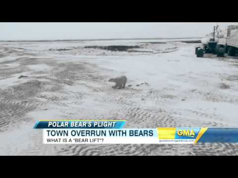 Polar Bears Encroaching On Churchill Manitoba