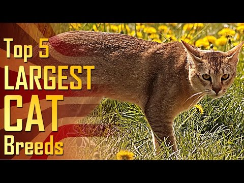Top 5 Largest Cat Breeds