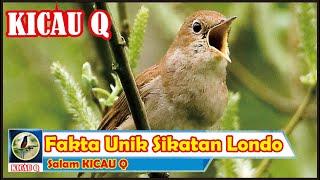 Fakta Unik Burung Sikatan Londo | KICAU Q