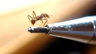 Crazy Ant farm - Formigário