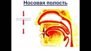Презентация Дыхание  Органы дыхательной системы  Легкие