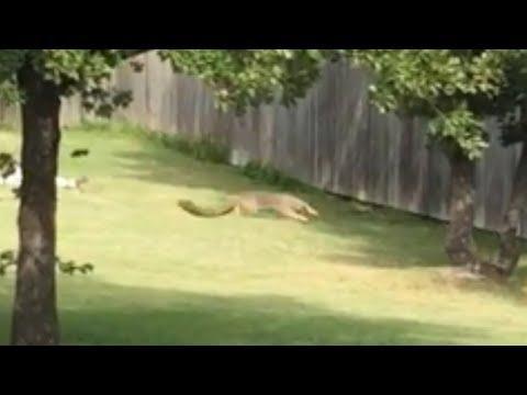 Daredevil Squirrel vs German Shepherd pt13