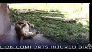 Lion Saves Injured Bird. Incredible Footage Largest African Predator Cat Comforting Smallest Bird