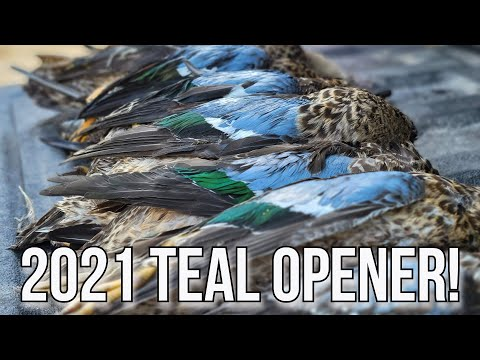 SUCCESSFUL 2021 EARLY TEAL SEASON OPENER! Duck Hunting Wisconsin Public Land!