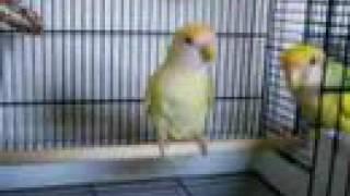 Lovebird Cage Set-Up for 2 Lovebirds