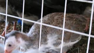 """""""Перепёлкино"""" Самый экологический и востребованный корм у птиц - бесплатно!!!"""