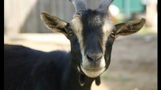 В Мире Животных. Камерунские Козы смотреть всем