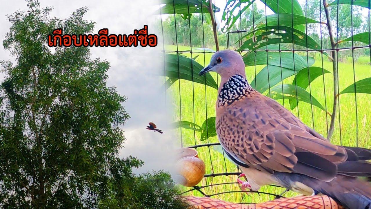 ออกฝึกนกใหม่ ครั้งนี้ถือว่าเล่นดีคับ เรียกนกป่าจะเข้าอยู่แล้ว แต่เจอแบบนี้ เกือบเหลือแต่ชื่อ