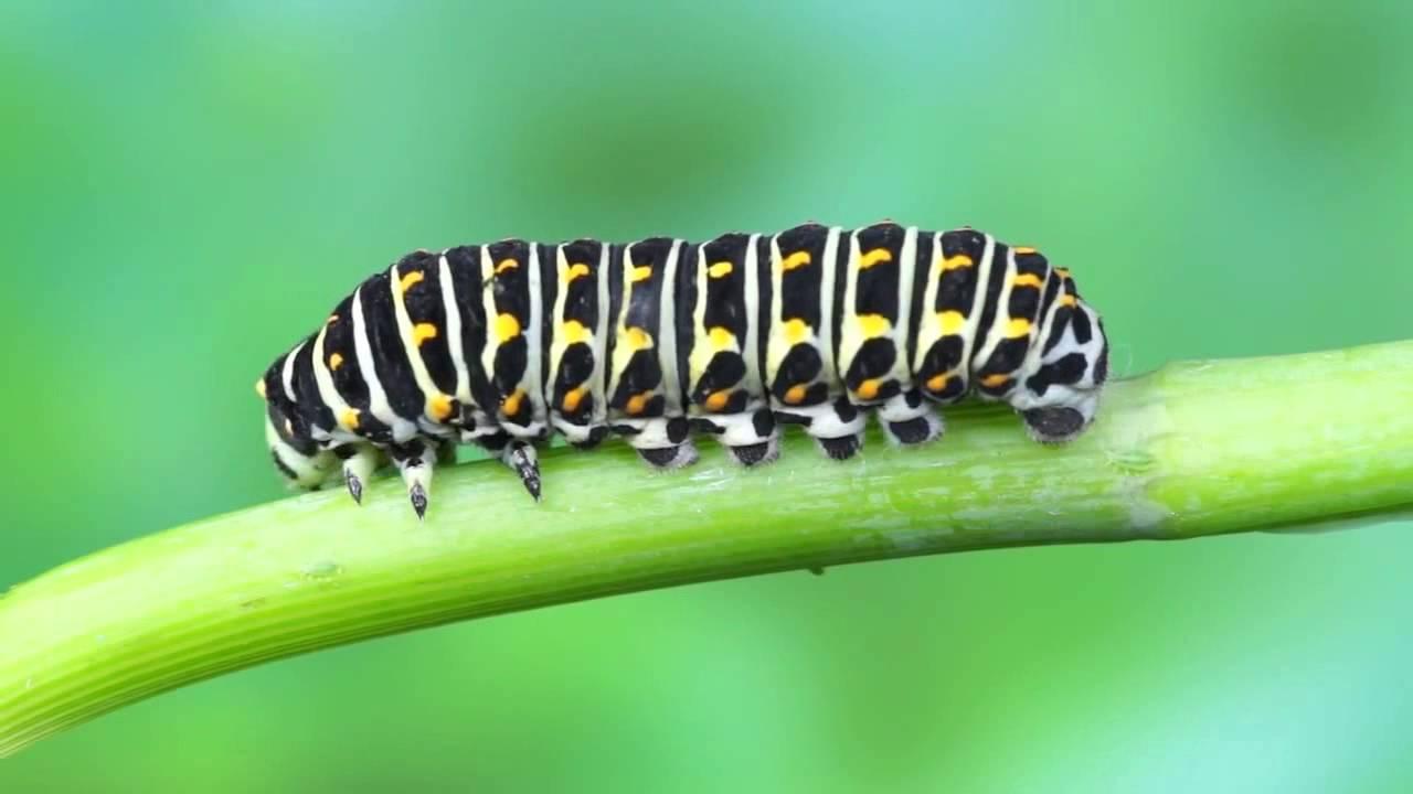adbf5a823 cycle de vie papillon machaon (accéléré) - YouTube