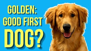 Are Golden Retrievers Good First Dogs? ( Or A Bad Choice )