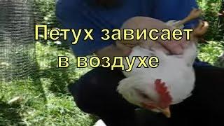 Петух отжигает!!! Гравитация в голове курицы. Голова застревает в воздухе!