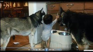 Baby, Husky And German Shepherd - Where's The Food?
