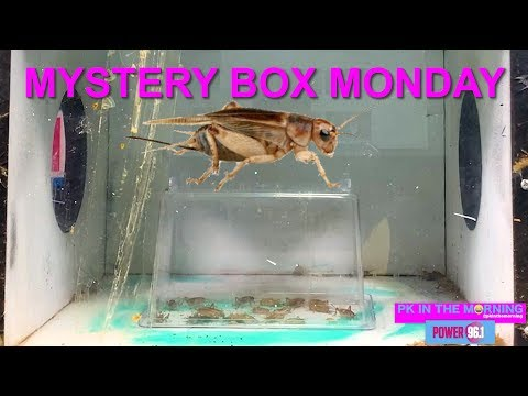 PK TV - Mystery Box Monday: 30+ LIVE Crickets (plus bonus security footage)!