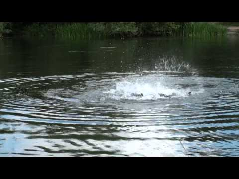 Farlows Lake Carp Spawning 2015