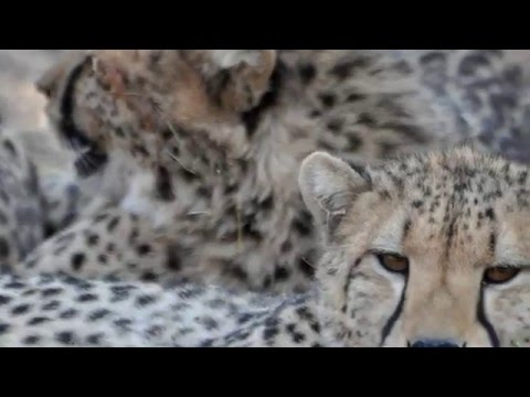 Protecting Cheetah in the Wild:  An Interview with CCB