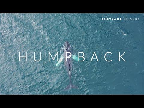 Humpback - Shetland Islands