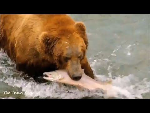 Grizzly Bears  Catching Salmon  In Alaska ~ Land Of The Midnight Sun