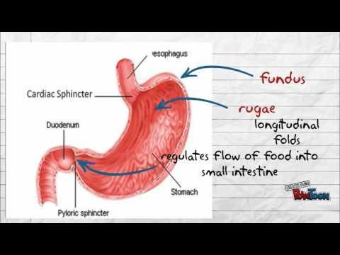 frog digestive system
