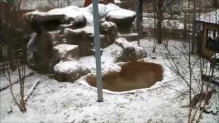 Chattanooga Zoo s Snow Leopard Live Cam Highlights Vol.1